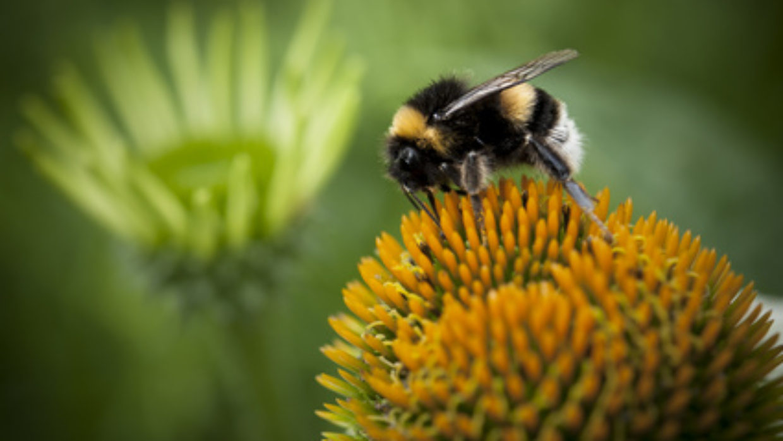 Beelieve it or not – some pollens are antihistamines!
