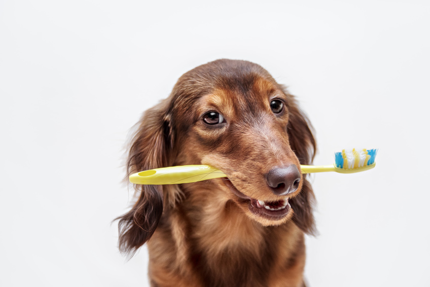 Dachshund dog with a toothbrush on a light background, not isolated