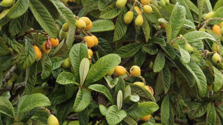 Loquat: A Powerful Antihistamine For Histamine Intolerance
