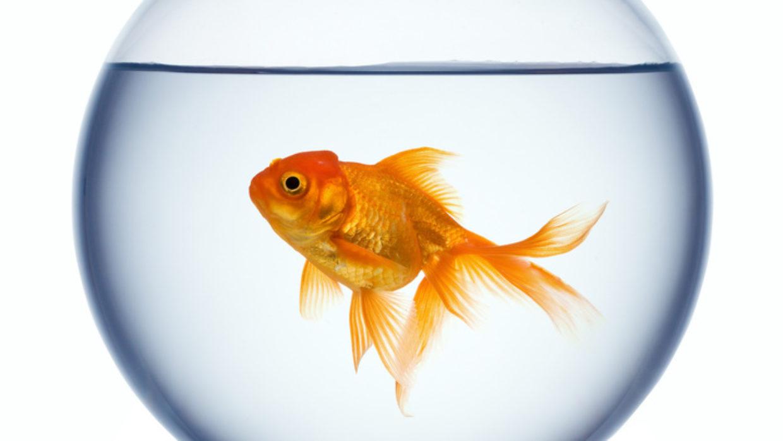 Histamine's Effect on Memory (Goldfish Brain)
