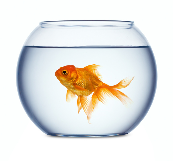 Goldfish in a fishbowl isolated on white background histamine memory goldfish brain