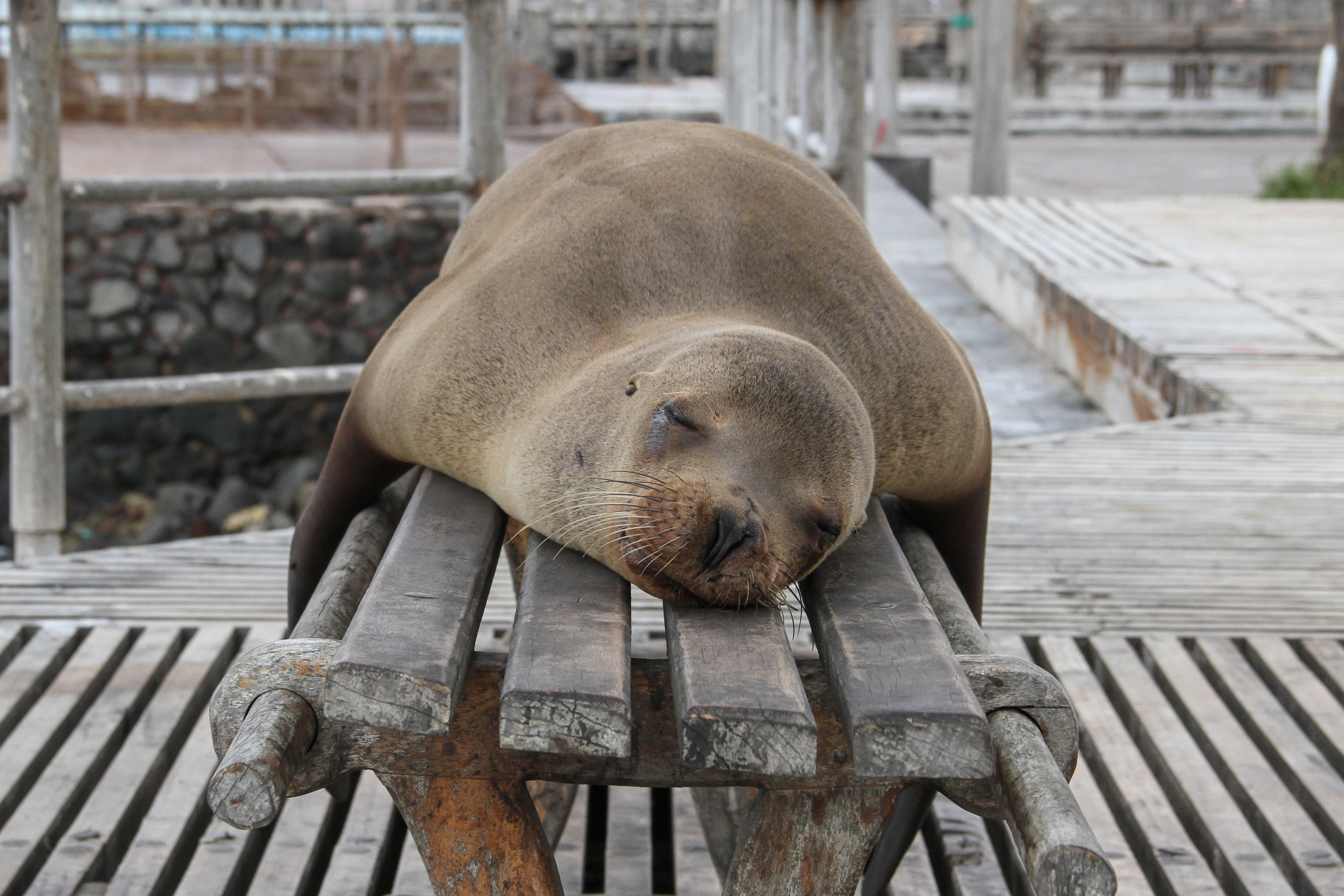 histamine sleep shows a sea lion asleep on a bench